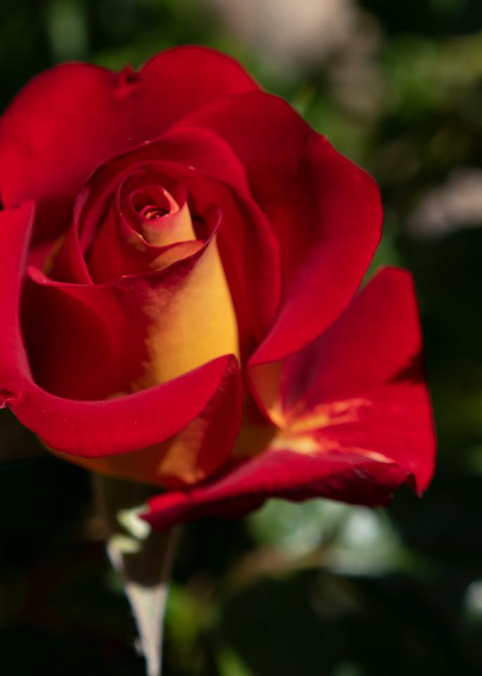 Garden Rose   Red & Orange Photography Art | FocusPro Services, Inc.