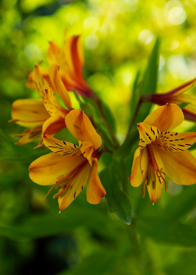 Peruvian Lily Photography Art | FocusPro Services, Inc.