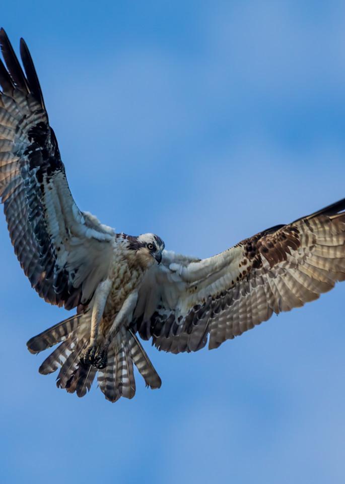 Female  Osprey Hovering Over MArsh