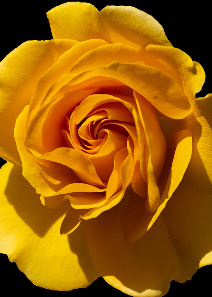 Yellow Rose 3 Photography Art | FocusPro Services, Inc.