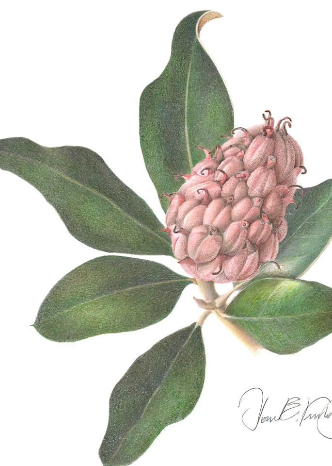 Magnolia Seed Pod and Foliage