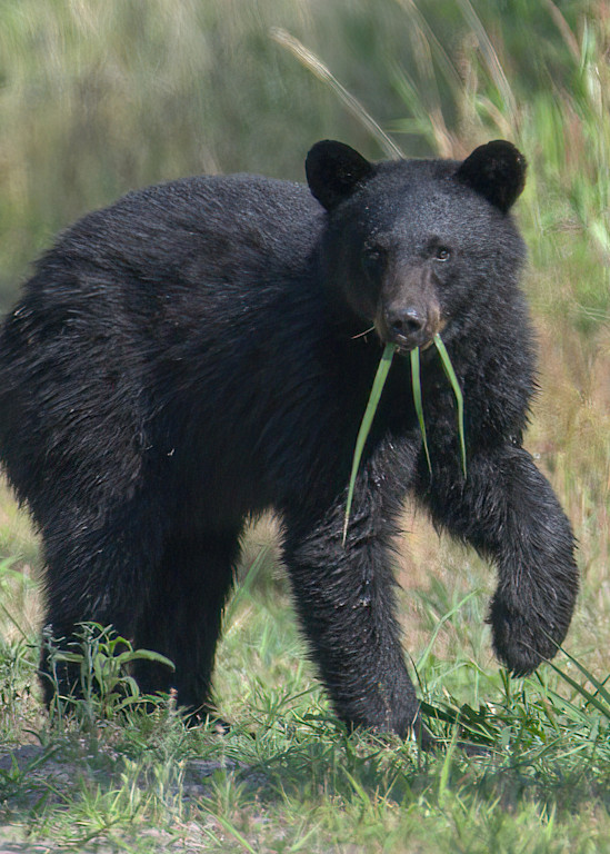 Hungry Bear Photography Art | Monteux Gallery