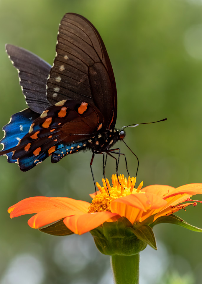 Spicebush Swalowtail Butterfly - Square