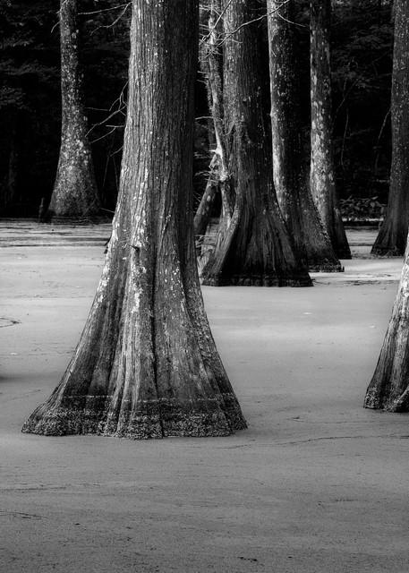 Cypress in Duckweed - Louisiana swamp fine-art photography prints