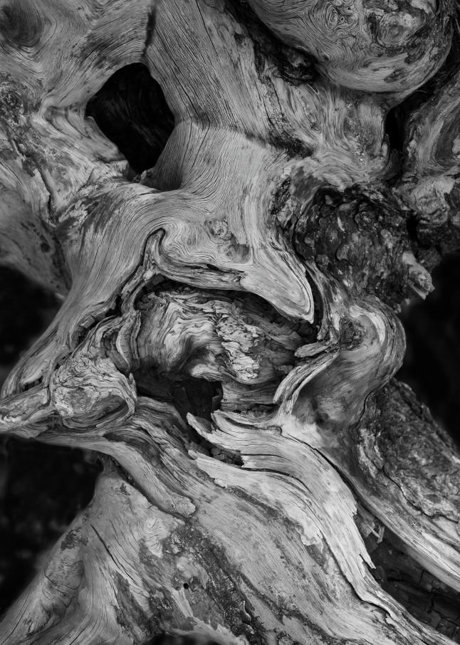 B&W Tree Detail, Yellowstone National Park