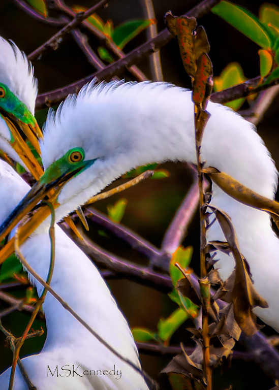 Two Snowy Egrets Nest Building  Art   Cutlass Bay Productions, LLC