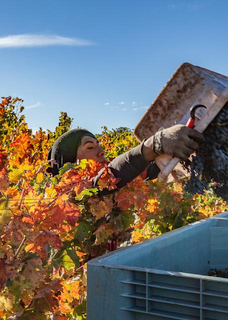 Harvest worker in action