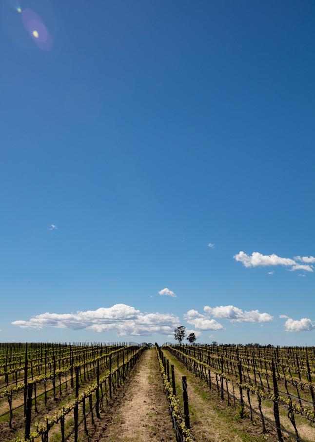 Young Napa Valley vineyard