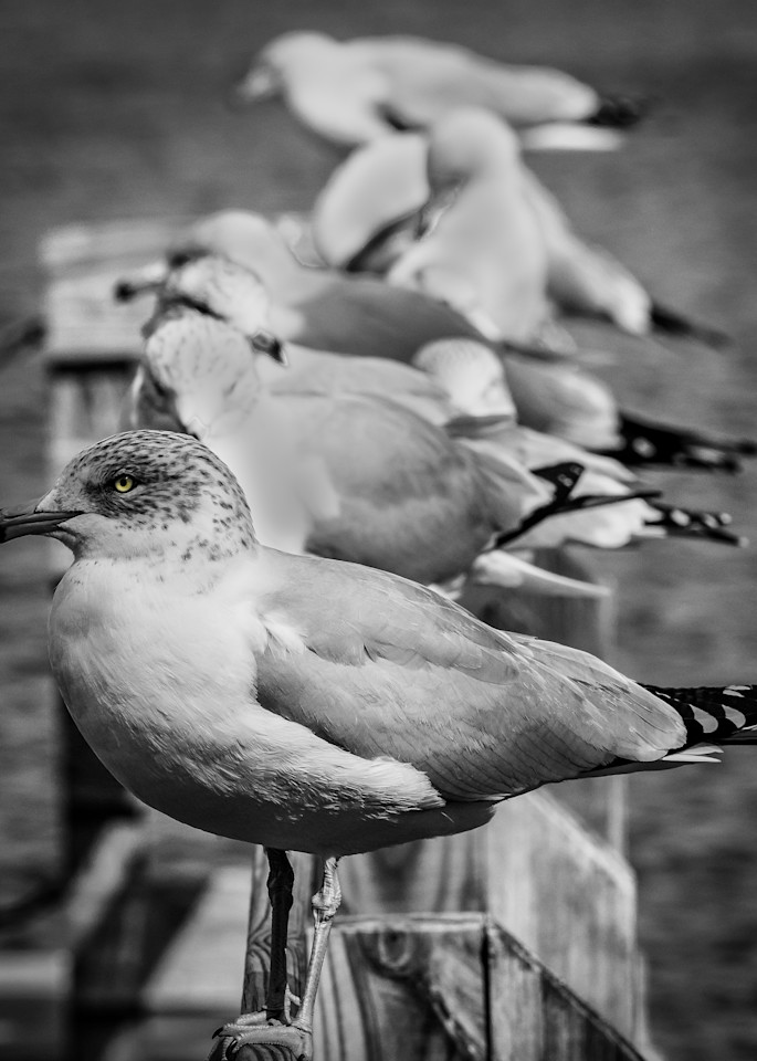 Seagull Line Up in BW