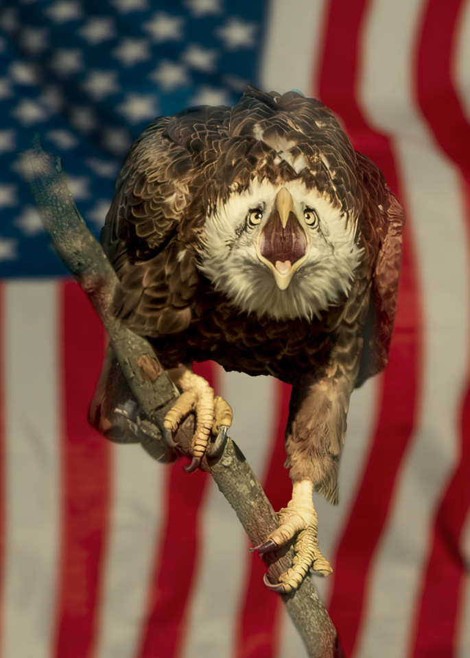 Screaming Bald In Front Of Flag Photography Art | Charles Schmidt Photography, LLC