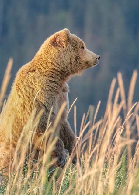 On The Lookout   Coastal Brown Bear 7048f Photography Art | Koral Martin Fine Art Photography