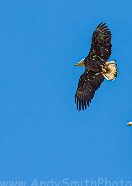 Juvenile and Adult Bald Eagles Flying Together