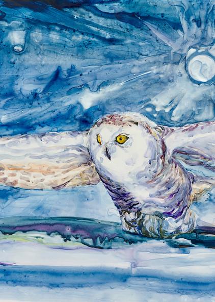 Snowy Owl - Quebec