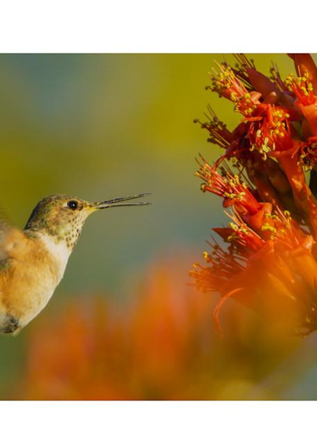 Photograph of a Rufous Hummingbird visiting Ocotillo Flowers.
