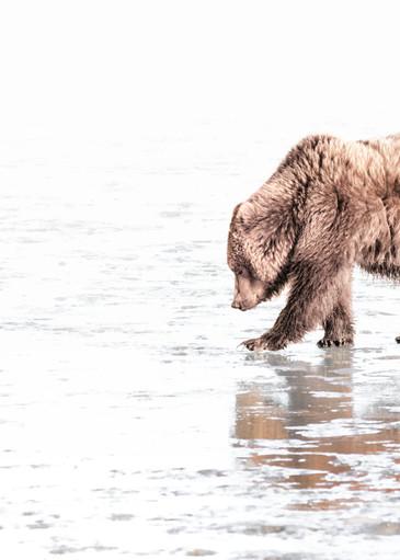 On A Clam Hunt,  Coastal Brown Bear   High Key 6904 Photography Art   Koral Martin Fine Art Photography