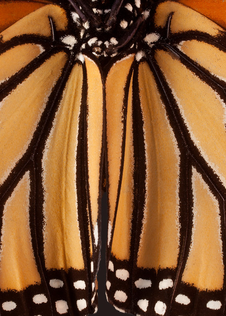 Monarch Butterfly, Houston, Texas Photography Art   Rick Gardner Photography
