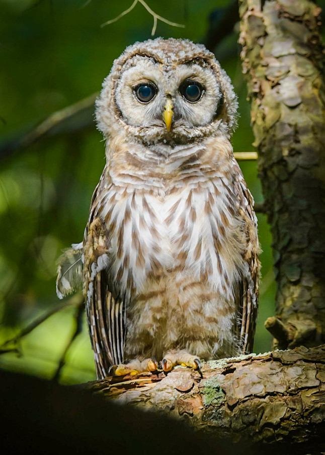 Barred Owl Baby Photography Art | Monteux Gallery
