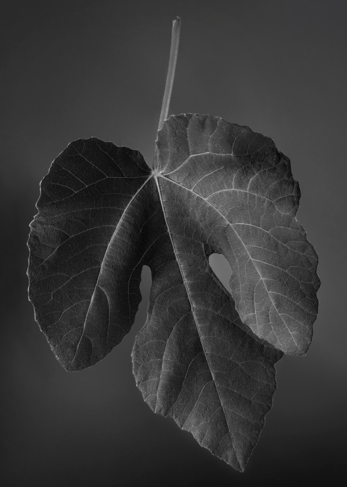 Unemployed Fig Leaf Looking For Private Parts Photography Art   Rick Gardner Photography