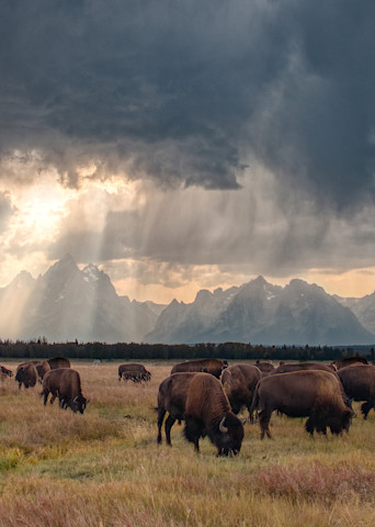 Herd of bison with a sunset storm over the Grand Tetons