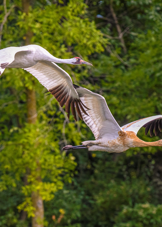 Adult and Juvenile Whooping Cranes in Flight