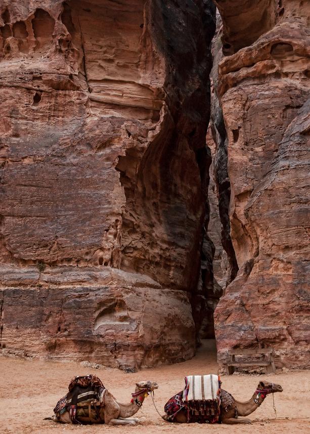 Camels At Petra Photography Art   Alina Marin-Bliach Photography/alinabstudios LLC