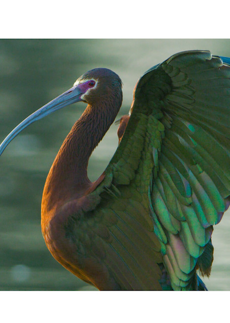 A white-faced ibis with its wings raised as art for your wall.