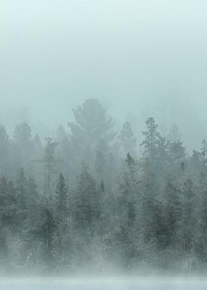 Pines Among The Fog