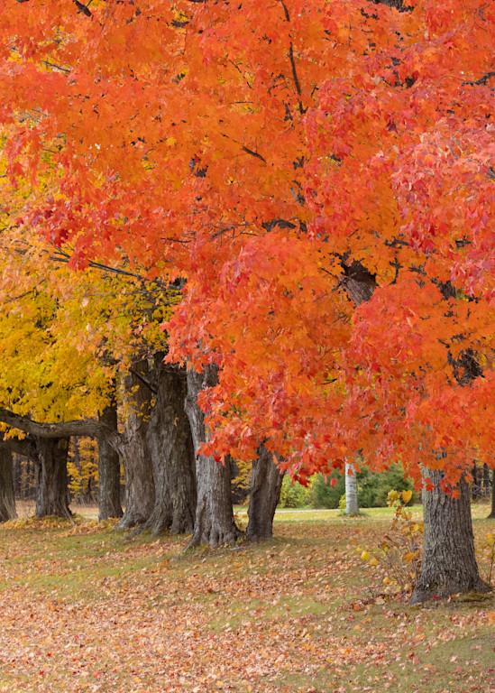 Door County Maples in Fall