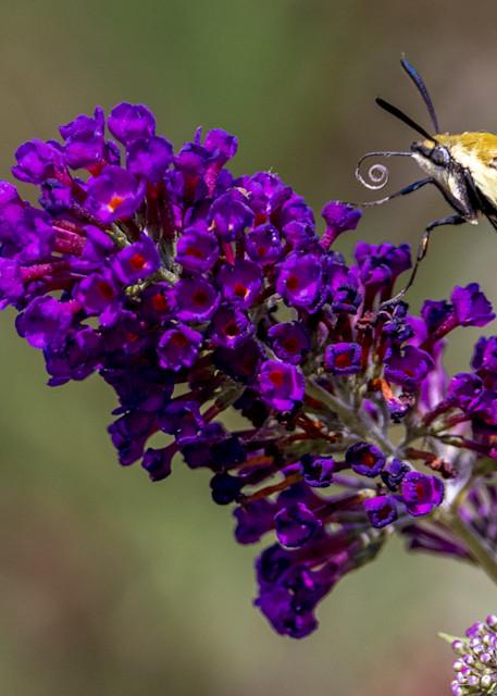 Snowberry Clearwing Hummingbird Moth Photography Art   Thomas Yackley Fine Art Photography