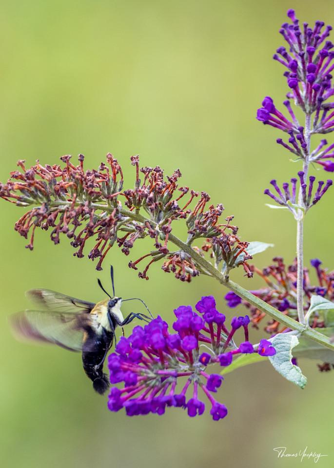 Hummingbird Moth On Butterfly Bush Photography Art | Thomas Yackley Fine Art Photography
