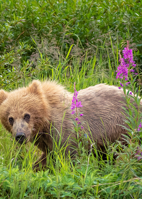Bear Cub In The Fireweed Photography Art   Carol Brooks Parker Fine Art Photography
