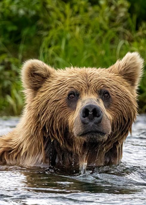 Swimming Bear Photography Art | Carol Brooks Parker Fine Art Photography