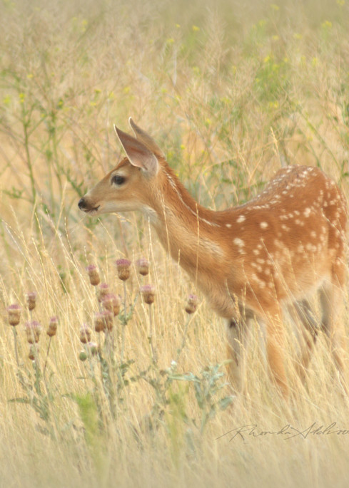 Baby deer photography