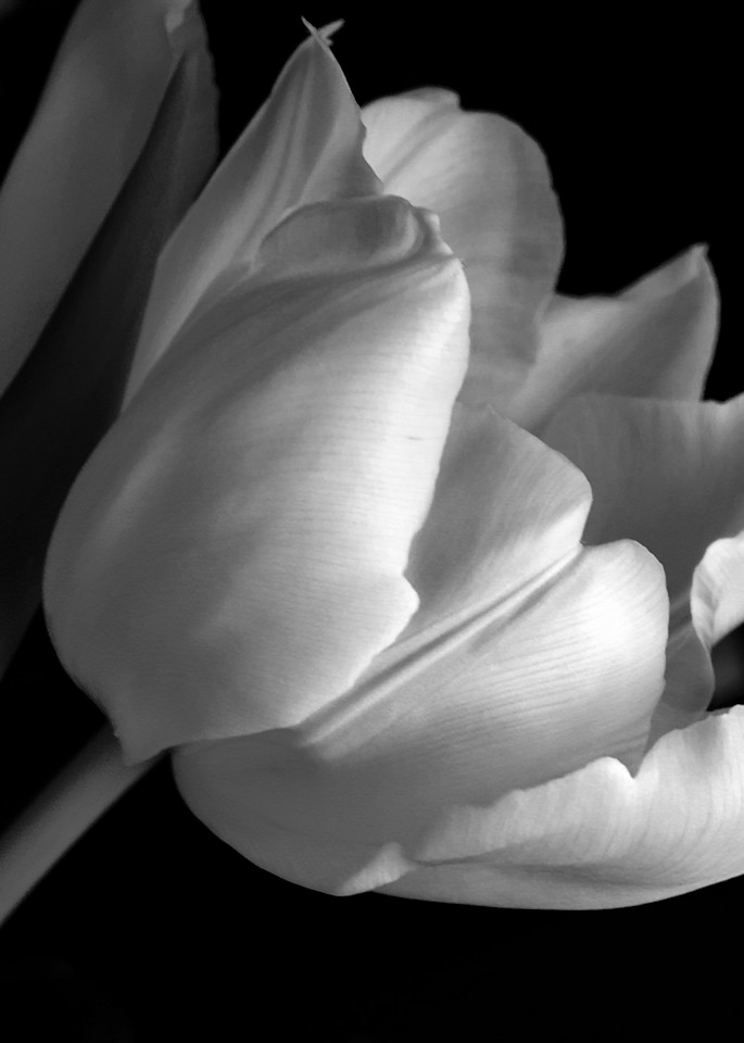 Black And White Tulip Art | Donna Starnes Creative