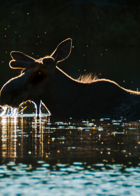 Glowing Bull Photography Art   Monteux Gallery