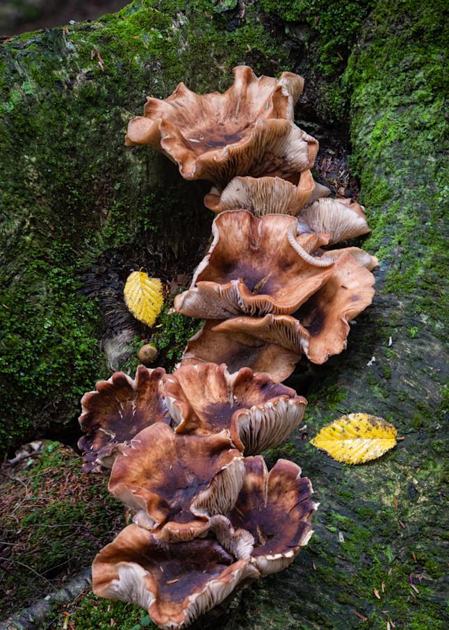 Wine Glass Fungus Mushrooms