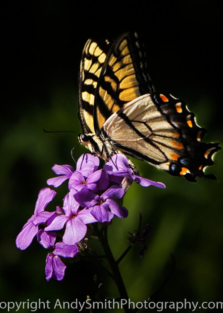 Eastern Tiger Swallowtail fine art photograph