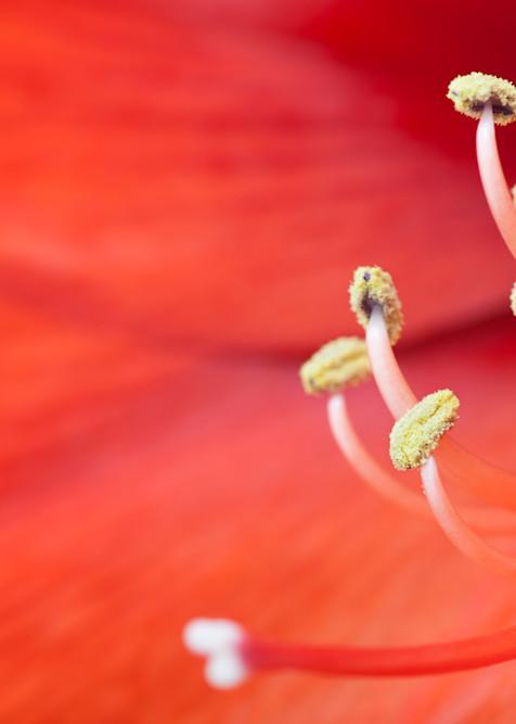 Amaryllis flower photograph for sale as Fine Art