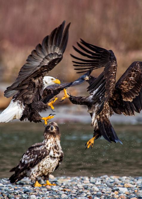 Bald eagles small fight