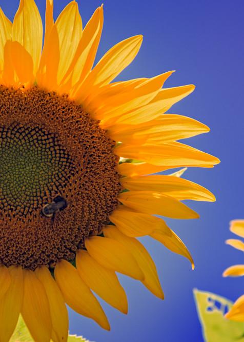 Sunflower Radiance by Rick Berk