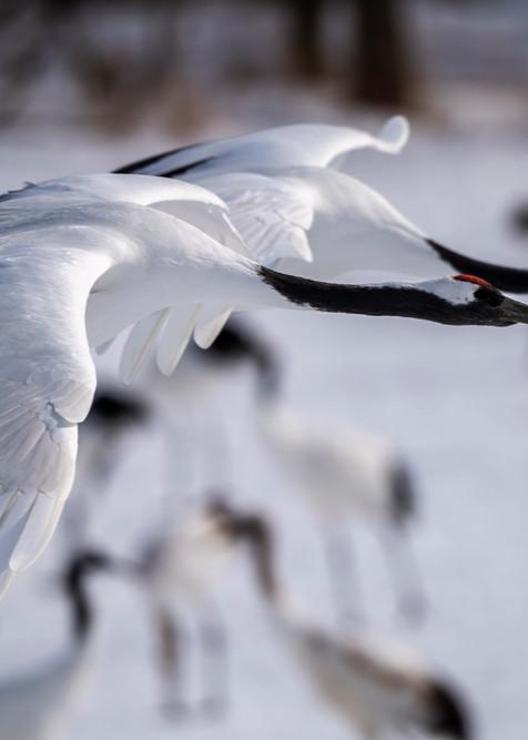 Red crowned crane pair in flight