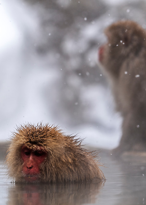 Snow monkey in snow at Jigokudani Nagano