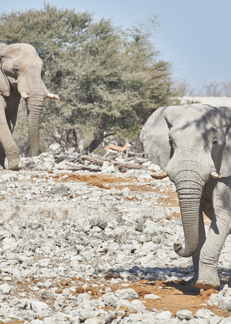 Elephants Arrive at Waterhole
