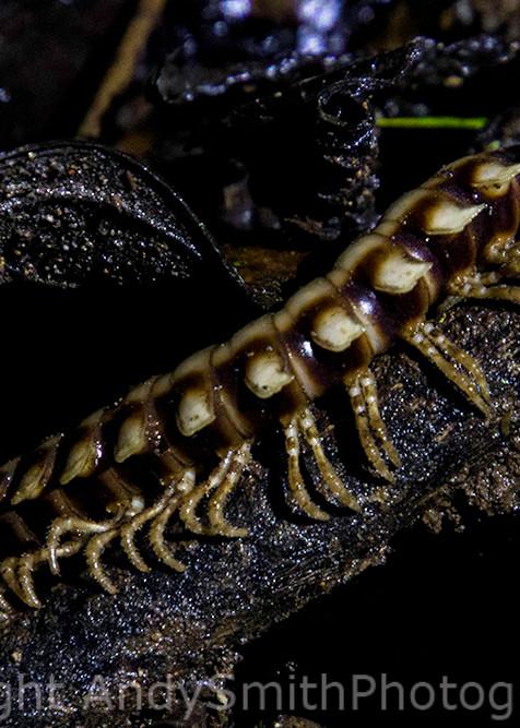 fine art photograph of  Large Forest-floor Millipede, Nyssodesmus python