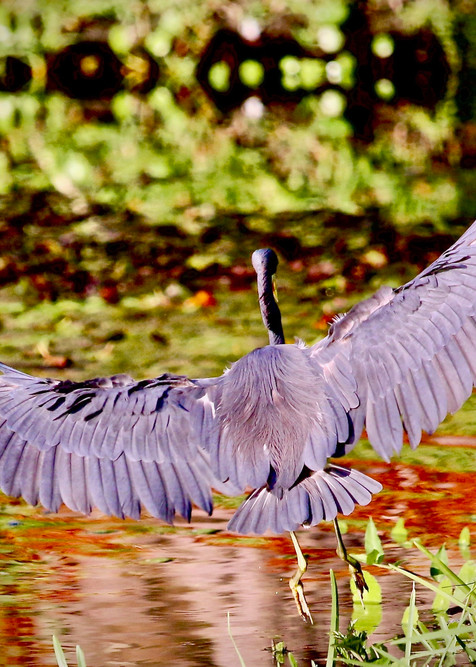 Great Blue Heron  Photography Art | CJ Harding