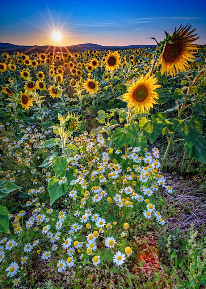 Sunflowers & Canary Island Marguerites | Shop Photography by Rick Berk