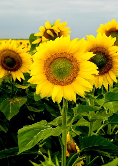 Sunflowers Photography Art   Eric Hatch