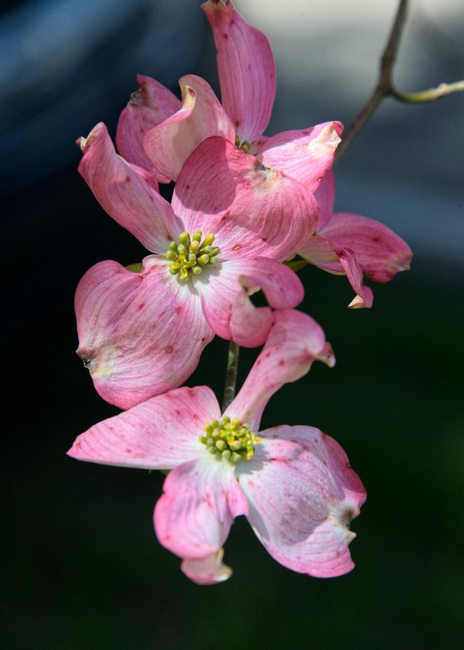 Pink Magnolia Photography Art | Eric Hatch