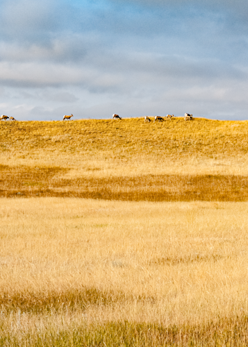 Bighorn Sheep On Horizon Panorama Photography Art   Eric Hatch