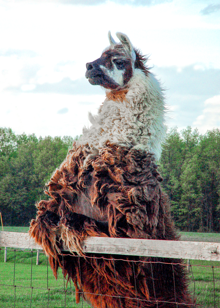 Neighborly Llama Photography Art | Eric Hatch
